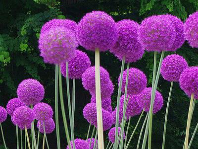 de belles fleurs violette avec de grandes tiges